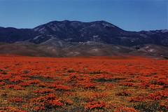 Tejon Ranch (joeksuey) Tags: poppies wildflowers antelopevalley flowerfields lupine coreopsis gormanhills tejonranch