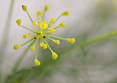 Fennel (judith511) Tags: flower seeds fennel simplyflowers fabulousflowers 7daysofshooting naturethroughthelens minimalsunday week35abundance