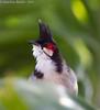 Red-whiskered Bulbul (Pycnonotus jocosus) (Jeluba) Tags: bird nature canon square wildlife aves mauritius birdwatching oiseau carré redwhiskeredbulbul pycnonotusjocosus bulbulorphée rotohrbülbül