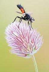 Slender Tachinid on Trifolium (johnhallmen) Tags: macro insect naturallight diptera tachinidae cylindromyia trifoliumarvense canonmpe65 canon5dmkii zerenestacker