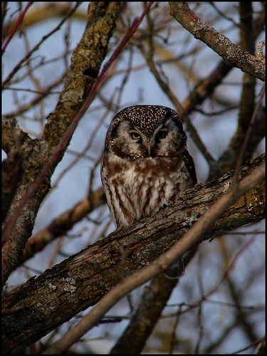 Boreal Owl in apple tree