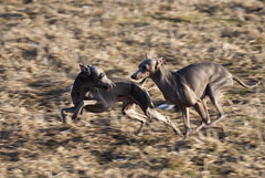 Pelle och Penny in action (Carolin de Verdier) Tags: dog running hund springer italiangreyhound italiensk vinthund