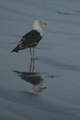 2 (Dwarskerser) Tags: southafrica seagull westcoast weskus suidafrika seemeeu dwarskersbos