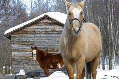 Snow Horse / Cheval des neiges (guysamsonphoto) Tags: winter horse snow cheval dof bokeh hiver neige nikkor70300vr nikond7000 guysamson