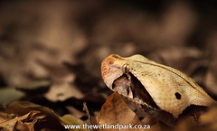 Gaboon Adder shot on photo course (Umkhumbi Lodge, South Africa) Tags: lacey snakes courser rogerdelaharpe