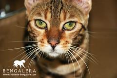 Regard d'amour, Hakuna, chaton Bengal (bengalera) Tags: wild race cat amazing eyes kitten chat tiger kitty leopard cheetah bengal tigre pedigree chaton bengali cattery bengale chatterie