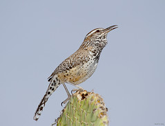 Cactus Crooner (markvcr) Tags: cactus bird cacti desert ngc wren cactuswren campylorhynchusbrunneicapillus supershot specanimal natureselegantshots naturethroughthelens panoramafotogrfico coth5 sunrays5
