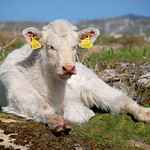 "Lettermullan Calf <a style=""margin-left:10px; font-size:0.8em;"" href=""http://www.flickr.com/photos/89335711@N00/8596272758/"" target=""_blank"">@flickr</a>"