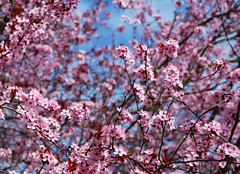 Cherry Blossoms (KnittyKittie) Tags: pink flowers cherry spring blossoms cherryblossoms plumblossoms
