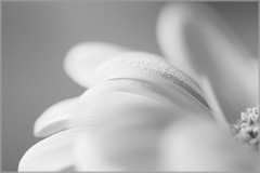 Gerbera (NikkiNakkiNoo365) Tags: white black flower macro up petals close gerbera