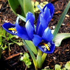 ✽ First Iris ✽