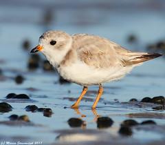 At a low tide (v4vodka) Tags: bird nature animal wildlife birding longisland birdwatching plover pipingplover charadriusmelodus westmeadowbeach pipingploverchick sieweczka siewka