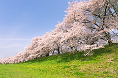 Stripes of Spring (maida0922) Tags: pink blue trees sky color green river cherry kyoto riverside blossoms stripe bank  dike k5 yawata  sewaritei kizugawa  sigma816mmf4556dchsm gettyimagesjapan13q2