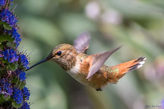 Adult female or immature Rufous Hummingbird (SARhounds) Tags: california ngc huntingtonbeach rufoushummingbird selasphorusrufus supershot specanimal huntingtoncentralpark abigfave avianexcellence