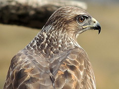 02 BUZZARD GARDEN BIRDS 212 THIS IS A WILDBIRD (ivorrichardk) Tags: 02buzzgardenbirds