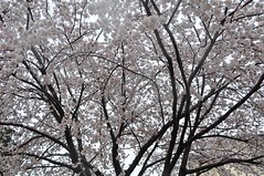 Rainy Cherry Blossoms (ShardsOfBlue) Tags: rain japan spring cherryblossoms hanami year1