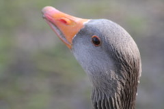 Greylag goose (vhs2008) Tags: park lake tree bird water birds goose pump egret lackfordlakes greylag greylaggoose weststowpark