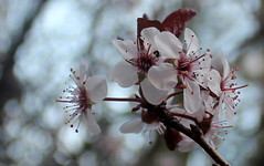 Flowering Purple Leaf Plum (Lin_Woods) Tags: flower spring blossom bokeh plum bloom floweringplum