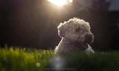 Daisy girl (Joey Palimeno) Tags: family dog pets dogs terrier wheaten softcoatedwheatenterrier softcoated