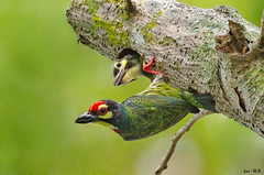 (Explored) Coppersmith Barbet (2013) (kengoh8888) Tags: wild people baby tree nature pose hole pentax head no background ngc sigma clean perch avian creamy k5 nesting coppersmith pecking barbet 500f45