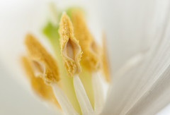 Sneaking a peak (rosejones1uk) Tags: white yellow petals bokeh style stamen pollen stigma filament anthers bokehwednesday