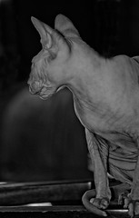 Gypsy (Corrie Brookhouse (ADORNMENT PHOTOGRAPHY)) Tags: blackandwhite bw pets ontario canada cat portraits hamilton bald sphynx hairless hfg nikond7000 adornmentphotography