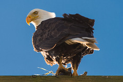 Bald Eagle (Haliaeetus leucocephalus) (absencesix) Tags: nature birds animals washington unitedstates wildlife events noflash bow april northamerica skagit eagles locations skagitvalley americanbaldeagle wildanimals 400mm manualmode iso50 2013 400mmf28 geo:state=washington exif:iso_speed=50 samishflats hascameratype haslenstype selfrating4stars west90 exif:focal_length=400mm camera:make=nikoncorporation 1500secatf56 baldeagleshaliaeetusleucocephalus exif:make=nikoncorporation geo:countrys=unitedstates exif:aperture=56 assortedevents subjectdistanceunknown nikond800e geo:city=bow exif:model=nikond800e camera:model=nikond800e exif:lens=4000mmf28 nikkor400mmf28gedafsvr bowwashingtonunitedstates april142013 skagitvalleytulipfestival04152013 geo:lat=48548355 geo:lon=122474952 483254n1222830w