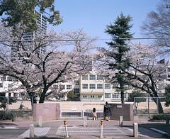 2013-03-30 (yymkw) Tags: school 120 mamiya film japan cherry spring blossom kodak  sakura medium 6x7 portra f4 67  160 80mm    mamiya7
