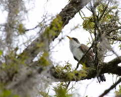 4-13-13 Yellow Billed Cuckoo 2-Mead (janeswalden) Tags: bird nature yellow gardens mead cuckoo billed