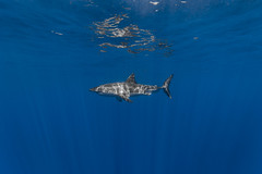 At a distance (George Probst) Tags: ocean blue fish reflection water mexico shark underwater outdoor baja greatwhiteshark