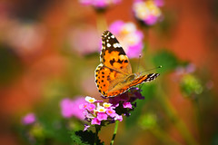 Butterfly in Crete, Greece. (mollygreen2016) Tags: new pink flowers light summer orange plant hot flower macro green art nature beautiful field animal animals yellow butterfly garden insect photography photo nikon focus colorful outdoor wildlife picture sunny insects greece crete depth