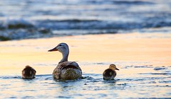 Mama and Ducklings (imageClear) Tags: sunset bird nature beauty wisconsin evening aperture nikon flickr wildlife young ducks ducklings mama mallard lovely sheboygan photostream northpoint 80400mm d600 imageclear