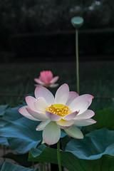 2016 Gyoda Lotus (shinichiro*) Tags: 20160728sdim4230 2016 crazyshin sigmasd1merrill sd1m sigma18300mmf3563dcmacrooshsm july summer flower macro lotus  gyoda saitama japan