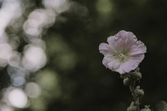 Rosa :) mit dem Leitz Elmarit 2.8/90 (Julie s Photo s) Tags: leitz leica elmarit blmchen flower green bokeh bokehlicious