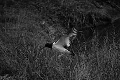 Ser feliz contemplando aves (Mar Cifuentes) Tags: blancoynegro bnw naturaleza nature aves birds humedal cartagena chile volar natura natureza