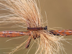 hair (lafur Ingi) Tags: wire barbedwire old hair horsehair