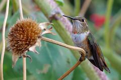 Rufous hummingbird.  Albuquerque, New Mexico. (cbrozek21) Tags: hummingbird rufoushummingbird bird nature beautifulbird hummingbirdcloseup fantasticnature sweetfreedom