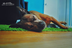 Beating the Heat (Hi-Fi Fotos) Tags: rocco rocky rock rocket pet dog pup pooch sleep nap rest comfort cute fur bff floor pillow bed nikon d5000 hififotos hallewell nikkor 1755mm f28