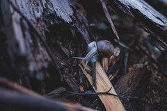 Snail on wood (freestocks.org) Tags: animal brown bug closeup common crawling creature environment field mollusk nature rainy shell slime slimy slither slithering slow slug snail snails speedy wet wild wildlife wood