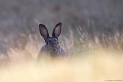 Lapin de garenne (Morgane_W) Tags: lapin de garenne wild rabbit faune animal sauvage wildlife nature canon80d tamron150600