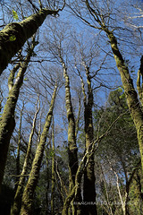Glengarriff (9O6A0565_1) (Wonder Westie) Tags: crabhin sencrabhin canon canoneos canoneos5dmarkiii countycork cocork trees tree sky bluesky forest forestpark