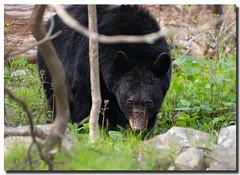 Black Bear at Shenandoah (Betty Vlasiu) Tags: black bear shenandoah virginia nature wildlife