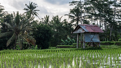 Au milieu des rizires (johan masia) Tags: indonesia indonsie indonesie d90 apsc aps colore color colour couleur bali travel voyage viaggio viaje trip journey ngc rice riz field champ world monde mondo mundo