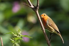 Immaculate stranger (david.england18) Tags: robinredbreast robin smallbirds various tits coal blue great queensparkheywood canon7d canonef300mmf4lisusm birdsuk