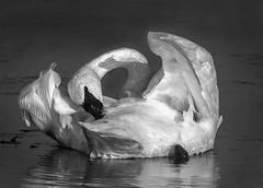 Prreening Dance (Patty Bauchman) Tags: tumpeterswan swan preeningswan wildbird bird nature yellowstonenationalpark wildlife