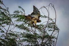 Ready to strike (david_sharo) Tags: davidsharo nature wildlife hawk trees northpark sky dusk