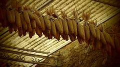 Questione di pannocchie (sandra_simonetti88) Tags: pannocchie pannocchia corn traditions agriculture tradizione tradizioni agricoltura tradition alps alpi village old vallecamonica brescia lombardy lombardia italy italia