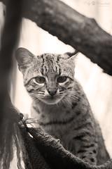 Geoffroy's cat (Cloudtail the Snow Leopard) Tags: salzkatze zoo karlsruhe tier animal mammal sugetier katze cat feline kleinfleckkatze geoffroy leopardus geoffroyi oncifelis