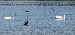 Trumpeter Swan / Canada Goose / Great Blue Heron (David Badke) Tags: colwood bc canada ca bird