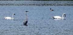 Trumpeter Swan / Canada Goose / Great Blue Heron (David Badke) Tags: colwood bc canada ca bird